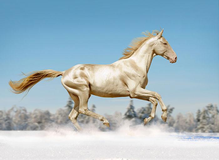 زیباترین نژاد اسب در جهان با نام آخال تکه در ترکمنستان