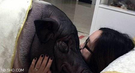 رابطه جنسی جنجالی این دختر با خوک +عکس همخوابی