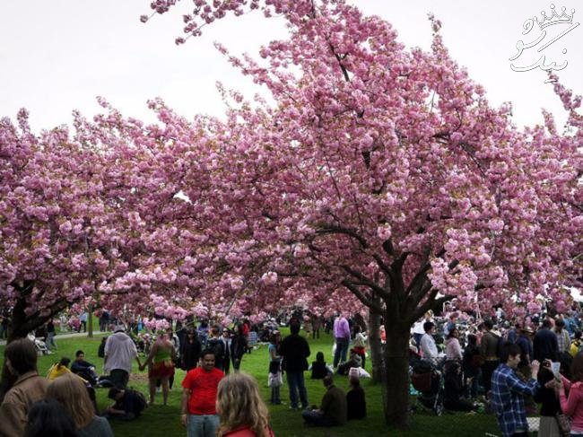 جشن عروسی درختان و شکوفه هایی از نوع گیلاسی!
