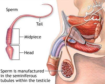 دانستنی هایی درباره اسپرم (مایع منی) مردان