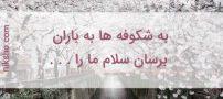 شعر به شکوفه ها به باران برسان سلام ما را | شفیعی کدکنی