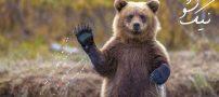تعبیر خواب خرس | خواب خرس دیدن از نظر معبران بزرگ