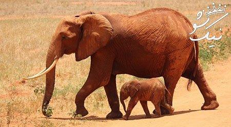 خواب فیل دیدن   تعبیر خواب فیل در خانه