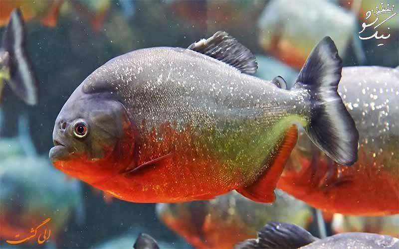 زیباترین ماهی های آکواریومی آب شیرین