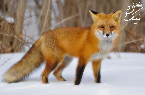 تعبیر خواب روباه | کشتن روباه | گاز گرفتن روباه