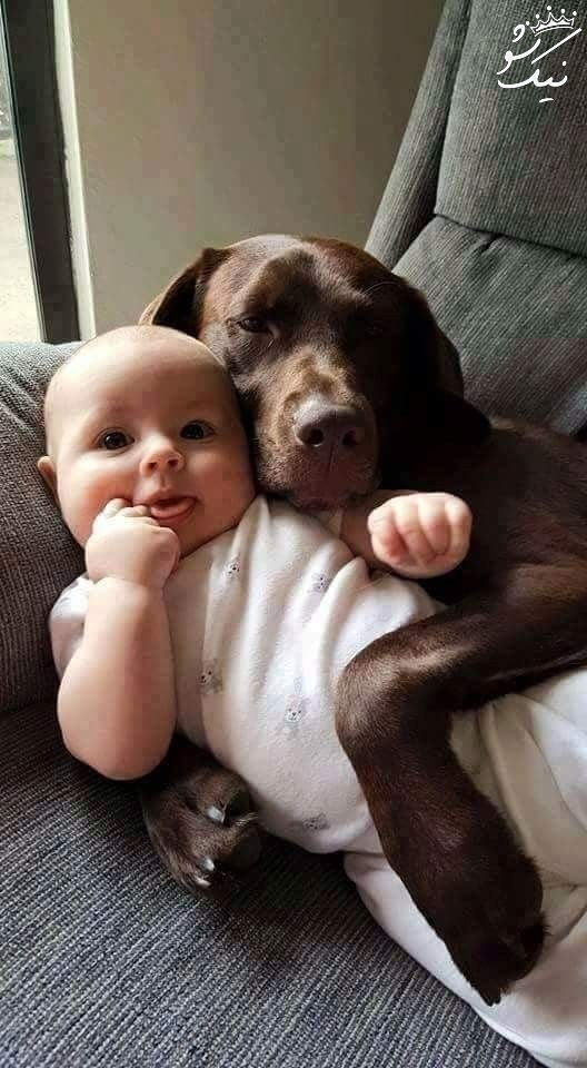 معرفی سگ نژاد سگ لابرادور رتریور | تربیت و نگهداری