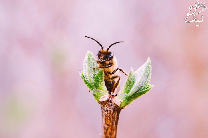 تا حالا فکر کرده اید بدون زنبورها ، بشر از بین می رود؟