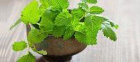 خواص بادرنجبویه در طب اسلامی | طب سنتی