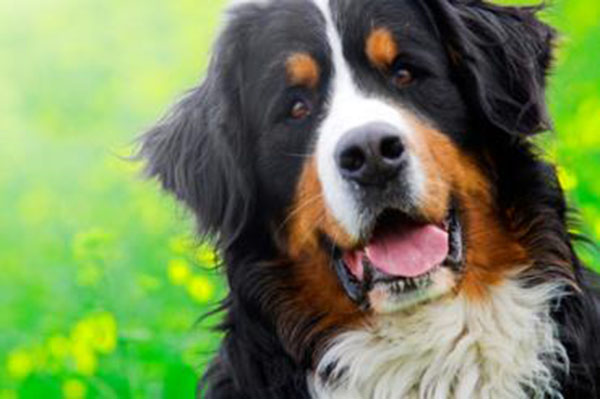 سگ کوهستانی برنس ، سگ نگهبان ، خصوصیات و تربیت