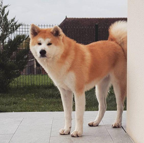 شرایط نگهداری سگ آکیتا Akita ، قیمت و محل فروش