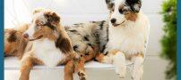 خصوصیات سگ شپرد استرالیایی +عکس