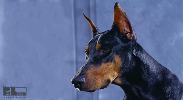 معرفی سگ دوبرمن پینچر ، قیمت سگ دوبرمن در ایران
