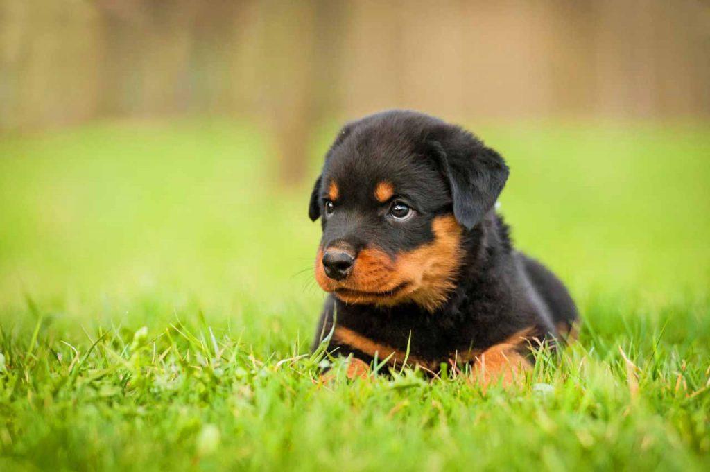 سگ روتوایلر اصیل ، روش تربیت و خصوصیات