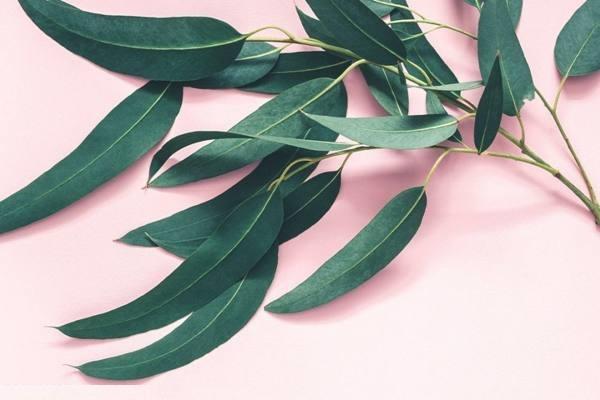 معجزه روغن اکالیپتوس برای جلوگیری از پیری پوست