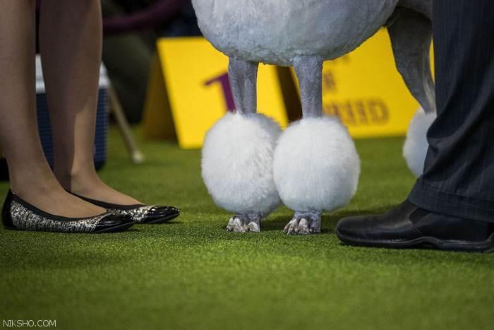 جشنواره سگ ها در نیویورک سیتی آمریکا