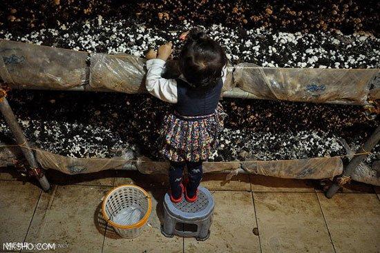 درباره شغل پرورش قارچ و میزان درآمد آن