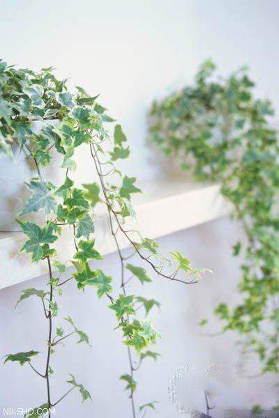 روش های نگهداری و پرورش گیاهان پیچک در آپارتمان