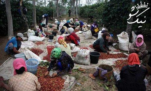 قهوه گران قیمت و مشهور از مدفوع این حیوان