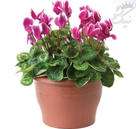 نگهداری از گیاه گلدار سیکلامن در خانه
