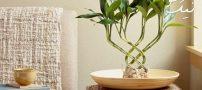 نگهداری و پرورش بامبو | خواص بامبو