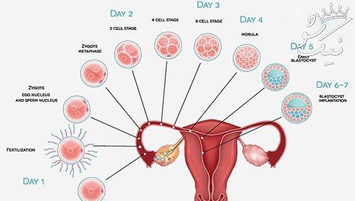 زمان تخمک گذاری در پریود 30 روزه