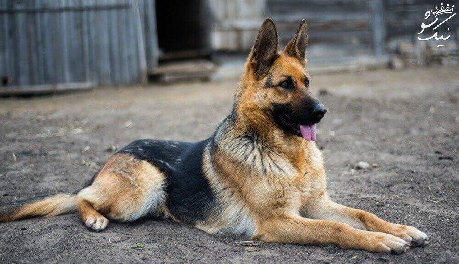 آموزش سگ ژرمن شپرد | تشخیص سگ شپرد اصیل