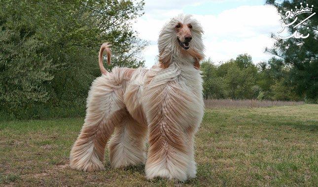 سگ تازی افغان ، برترین و زیباترین نژاد سگ در جهان
