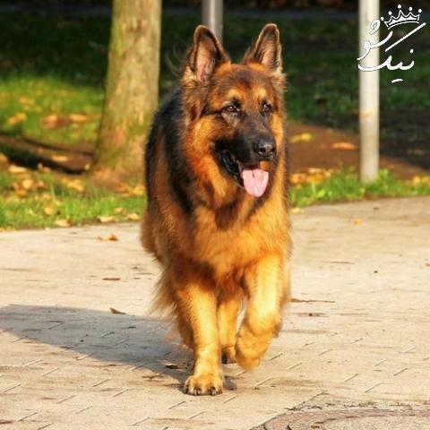 آموزش سگ ژرمن شپرد   تشخیص سگ شپرد اصیل