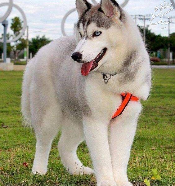 سگ سیبرین هاسکی   تمام نکات تربیت و نگهداری و تغذیه