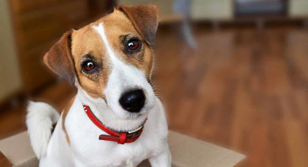 خصوصیات سگ جک راسل تریر | تربیت + قیمت