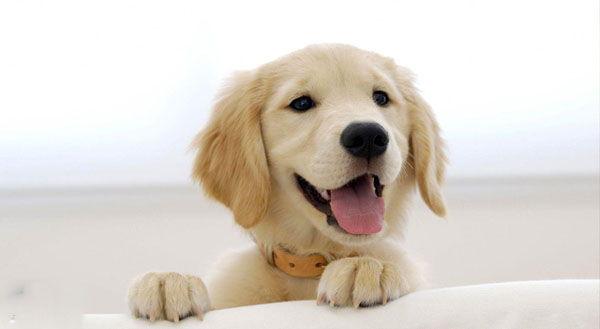سگ گلدن رتریور ، قیمت و چگونگی نگهداری golden retriever