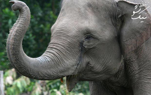 فیل در فال قهوه | فیل نشانه و نماد چیست؟