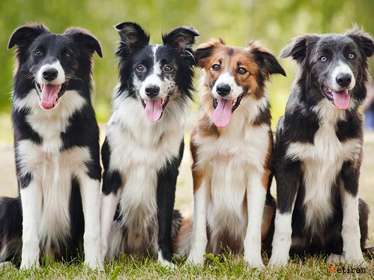معرفی سگ نژاد بردر کولی ، قیمت و خرید توله سگ بردر کولی