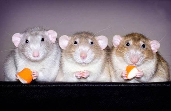 موش در فال قهوه به چه معناست؟ تعبیر موش