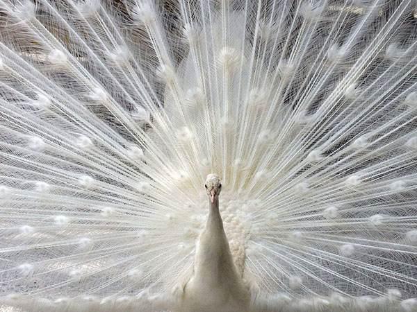 طاووس در فال قهوه به چه معناست؟ تعبیر طاووس