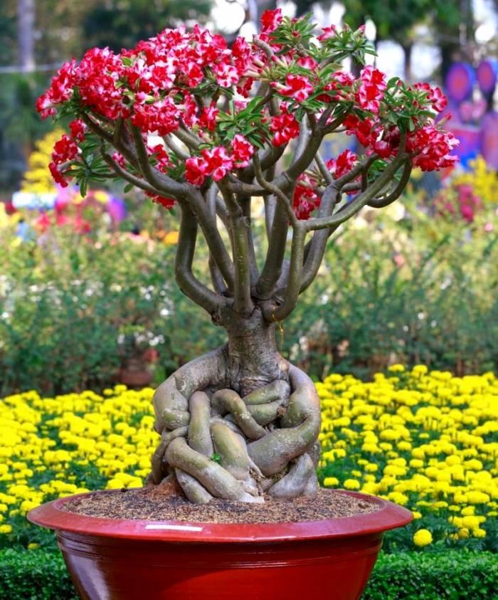نکات مهم پرورش و مراقبت از Adenium رز صحرایی آدنیوم